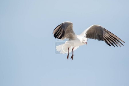 Photo pour Bouchent les images des goélands à tête grise, vol aérien, cherchez les restes de nourriture - image libre de droit