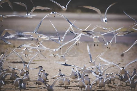 Close up image of a flock of Caspian Terns flying of the perch in an estuary in South Africa
