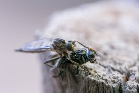 Macro photo of a cannibalistic fly eating another fly