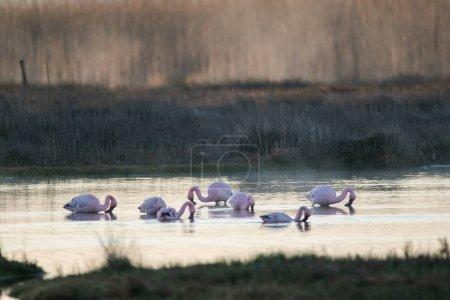 Foto de Imagen de cerca de mayores flamencos alimentándose en el estuario del río berg en la costa oeste de Sudáfrica - Imagen libre de derechos