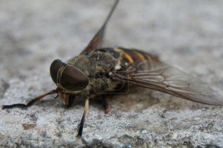 Makro von toten Fliegen oder Insekten. Tote Fliege im Makro mit großen braunen Augen