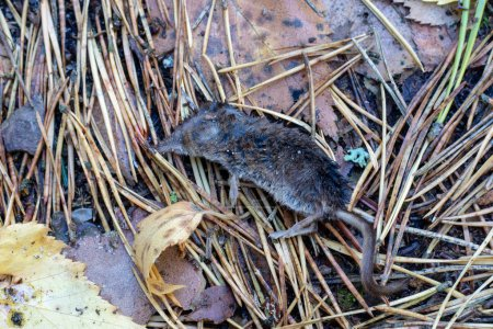 A dead mouse in the