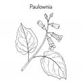 Paulownia tomentosa or princesstree foxglove-tree kiri ornamental plant