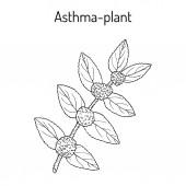 Asthma-plant Euphorbia hirta  or garden spurge medicinal plant