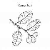 Ramontchi flacourtia indica  eatable and medicinal plant
