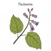 Paulownia tomentosa ornamental plant