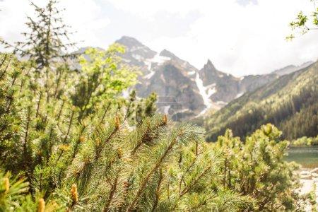 Photo pour Branches d'arbres de pin avec des montagnes Rocheuses sur fond - image libre de droit
