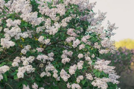 Beautiful bushes of blooming lilac
