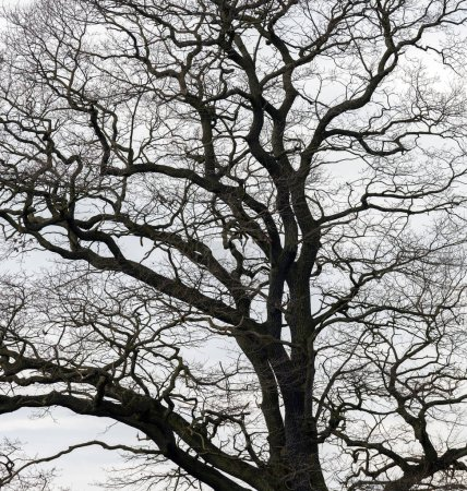 Silhouette of tree branches without leaves on grey sky background