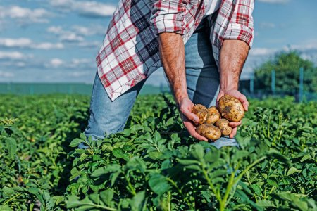 partial view of man with potatoes in hands in field