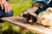 cropped image of farmers holding wooden board with adorable baby chicks outdoors