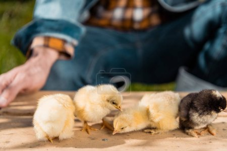partial view of male farmer holding wooden board with adorable baby chicks outdoors
