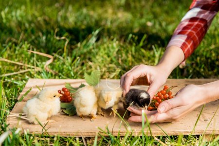 partial view of female farmer with baby chicks and rowan on wooden board outdoors
