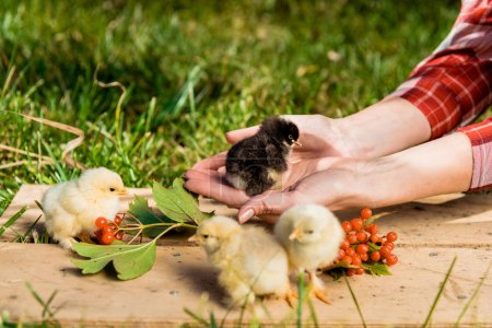 cropped image of female farmer with baby chicks and rowan on wooden board outdoors