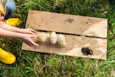 cropped image of little girl playing with baby chicks on wooden board outdoors