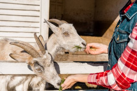 partial view of female farmer feeding goats by grass near wooden fence at ranch