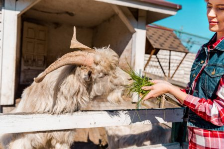 cropped image of woman feeding goat by grass near wooden fence at ranch