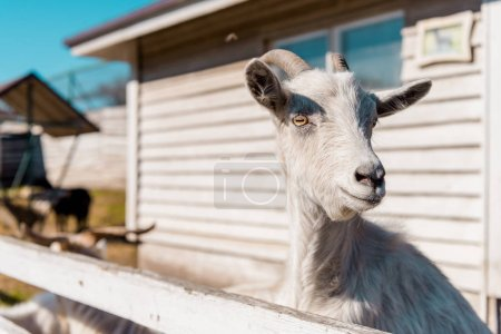 selective focus of goat grazing near wooden fence at farm