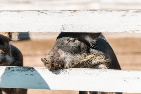 adorable black piglet standing near wooden fence at farm