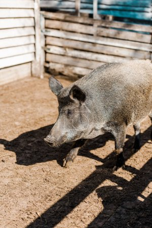 selective focus of grey pig walking in corral at farm