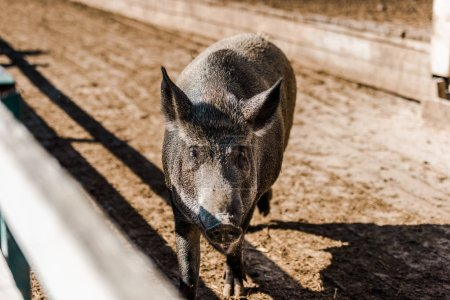adorable grey pig walking in corral at farm