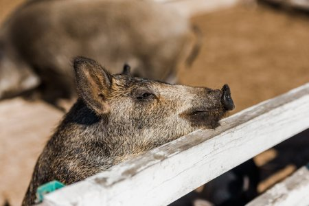 selective focus of grey piglet standing near wooden fence at farm