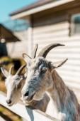 """Постер, картина, фотообои """"выборочный фокус коз, стоя возле деревянный забор на ферме"""""""