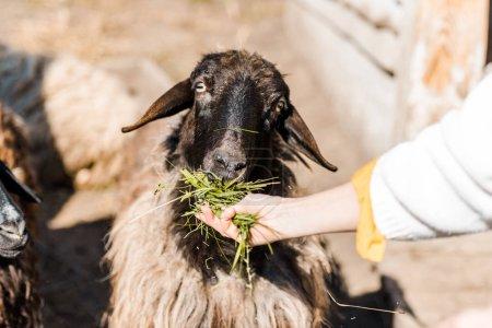 cropped image of female farmer feeding sheep by grass at farm
