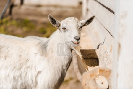 portrait of adorable goat grazing in corral at farm