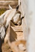 """Постер, картина, фотообои """"выборочный фокус красивых козы едят на ферме"""""""