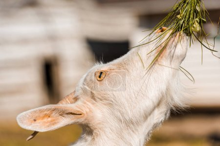 selective focus of adorable goat eating grass at farm