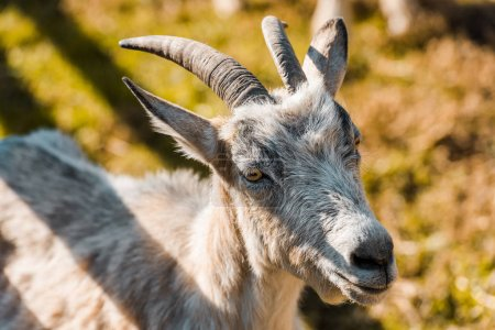 selective focus of adorable goat grazing outdoors