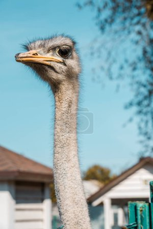 selective focus of beautiful ostrich standing at farm