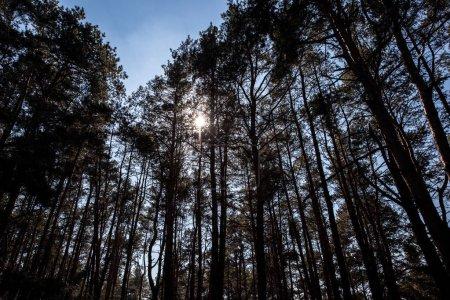 Photo pour Vue de forêt avec sun flare entre pins sur fond - image libre de droit