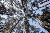 bottom view of pine trees with blue sky in forest