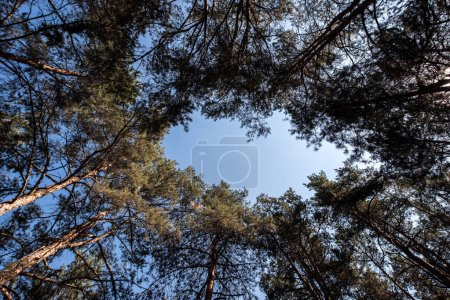 bottom view of pine trees with copy space on blue sky