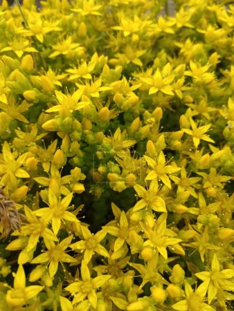 Photo for Bright yellow beautiful flowers of St. John's wort on the stone - Royalty Free Image