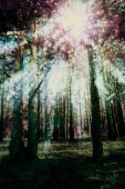 Early morning light in the pine forest, edited colors and grunge paper texture used.