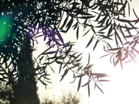Photo pour Détail des branches avec les feuilles d'un arbre et la végétation en arrière-plan contre la lumière dans un coucher de soleil - image libre de droit