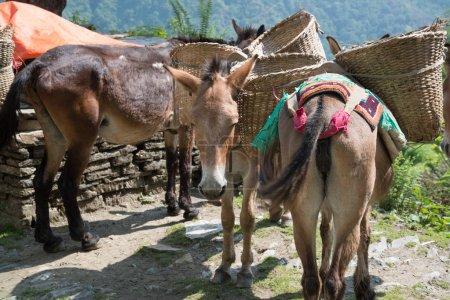 Foto de Donkeys on Annapurna sanctuary trek in Nepal Himalaya - Imagen libre de derechos