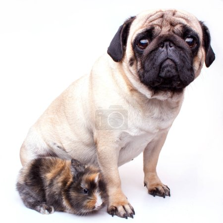 Very sad pug and rabbit isolated on a white backgr...