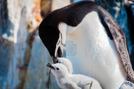 African penguin with chick