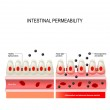 Leaky gut. Intestinal permeability. cells on gut l...