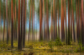 Fantasies on the theme of a spring forest in a pine forest in early spring