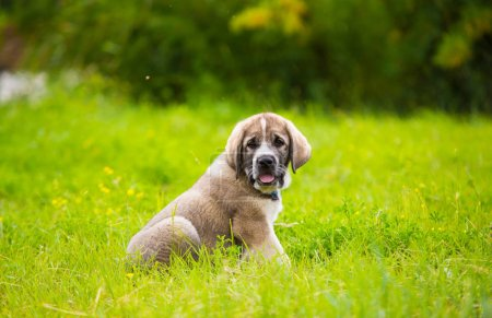 Puppy breed of Spanish mastiff playing in the gras...