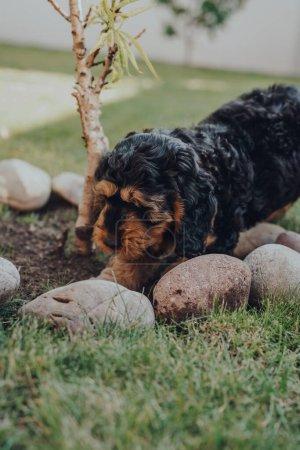 Photo pour Mignon chiot Cockapoo de deux mois creusant le sol sous un petit arbre dans le jardin, foyer sélectif. - image libre de droit