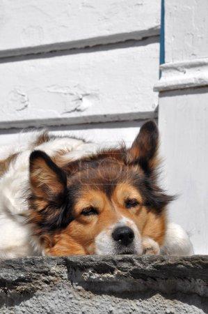 Photo pour Portrait d'un chien en hiver - image libre de droit
