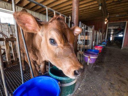 Cute baby brown Jersey calf