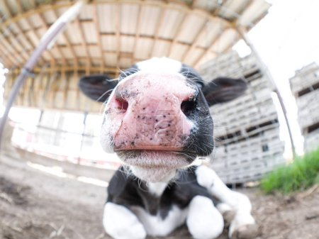 Cute fisheye close up of a black and white spotted baby cow or newborn calf sitting on the ground in its pen with big wet pink nose and ears sticking out to the side.