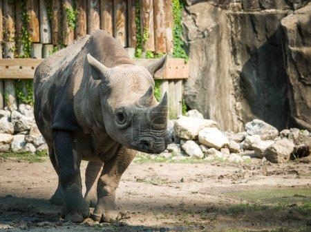 A closeup full body animal portrait of a large adult eastern black rhinoceros.